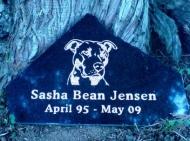Sasha Bean the pit bull